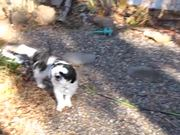 Watch free video Gibby The Shih Tzu Warming Up For Mating Season