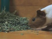 Watch free video Guinea Pig Mocha's Diary 01/11/11