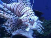 Mira dibujos animados gratis Lion Fish
