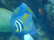 Watch free video Angel Fish