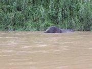 Watch free video Swimming Elephant