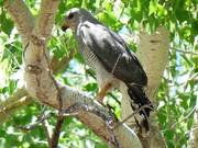Watch free video Humans And Stress In Breeding Gray Hawks