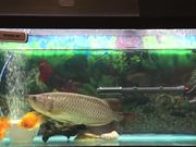 Watch free video Feeding Our Dragonfish