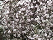 Watch free video White Flowers