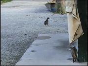 Watch free video Purple Cat Eats Duck