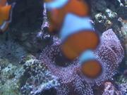 Mira dibujos animados gratis Clown Fish Swimming