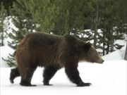 Grand Teton National Park: Which Bear Did I See?