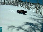 Grand Teton National Park: Wolverine