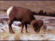 Grand Teton National Park: Bighorn Sheep