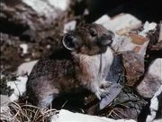 Grand Teton National Park: Pika