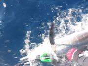 Watch free video Great Marlin Race - Striped Marlin Tag