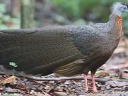 Watch free video A Wild Great Argus: Amazing Bird