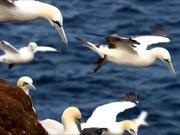 Watch free video Northern Gannet