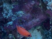 Mira el vídeo gratis de Blotcheye Soldierfish Swim Around the Reef