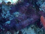 Mira dibujos animados gratis Blotcheye Soldierfish Swim Around the Reef