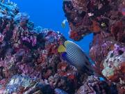 ดูการ์ตูนฟรี Emperor Angelfish Swims