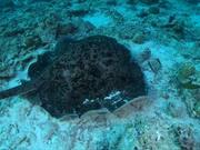 شاهد كارتون مجانا 360 Degree Look at a Round Ribbontail Ray