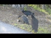 Watch free video Everglades National Park: Cormorant Eating