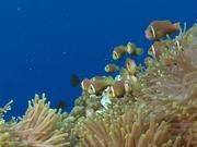 Mira el vídeo gratis de Shoal of Maldive Anemonefish Get Caught