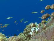 Mira dibujos animados gratis Shoal of Maldive Anemonefish Get Caught