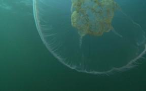 Watch free video Moon Jellyfish