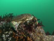 Edible Crab Walks Across a Ridge on a Tidal Reef