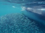 Whale Shark Surfing