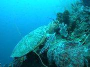 Mira el vídeo gratis de Hawksbill Turtle