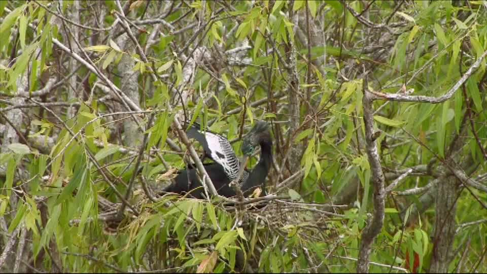 Watch free video Everglades National Park: Anhingas