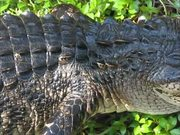 Watch free video Everglades National Park: Alligator Tales