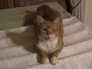 Watch free video The Talkative Cat