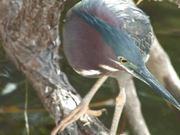 Watch free video Everglades National Park: Green Heron