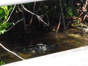 Watch free video Everglades National Park: Croc Eating Eel
