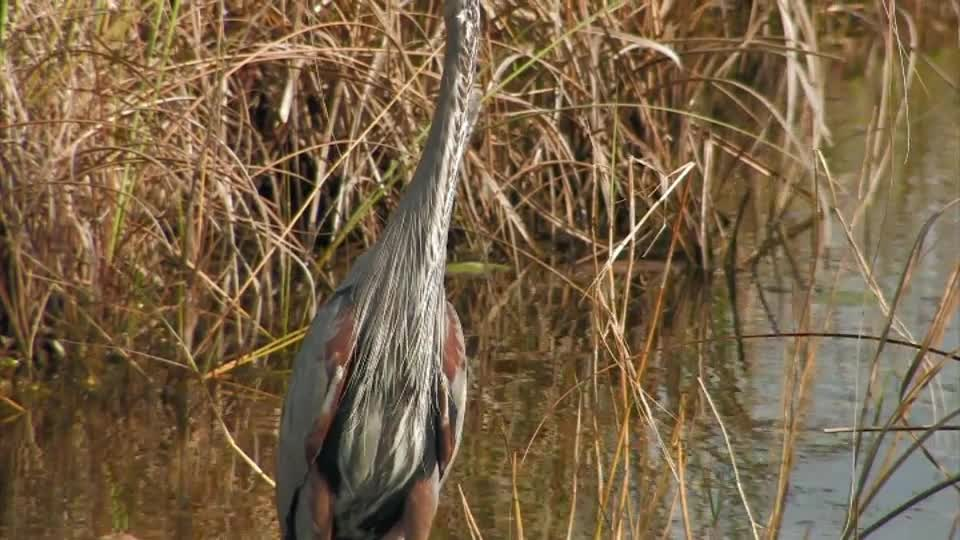 Watch free video Everglades National Park: Great Blue Heron