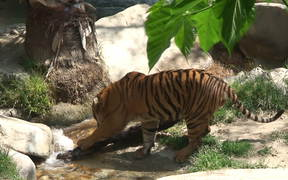 Watch free video A Tiger and a Log