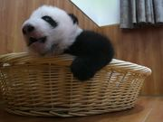 Watch free video Panda Babies