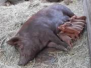 Watch free video Mama Pig And Her Newly Born Piglets