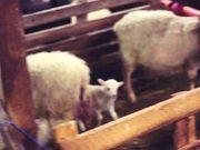 Watch free video Sheep