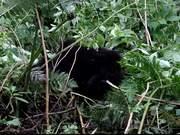 Watch free video Two Baby Gorillas Wrestling