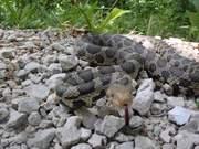 Watch free video Fox Snake