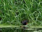 Watch free video Moorhen with Chick