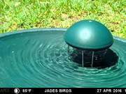 Watch free video Grackle at Bird Bath