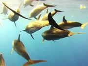 無料アニメのAtlantic Spotted Dolphins Bowridingを見る