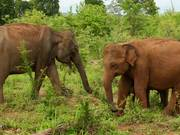 Watch free video Majestic Elephants