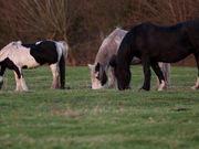 Watch free video Horses Grazing