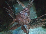 Mira dibujos animados gratis Lion Fish Close Up