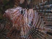 Mira el vídeo gratis de Lion Fish Close Up