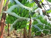 Watch free video Banana Plantation in Ecuador