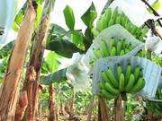 Watch free video Banana Plantation in Ecuador