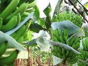 Mira dibujos animados gratis Banana Plantation in Ecuador